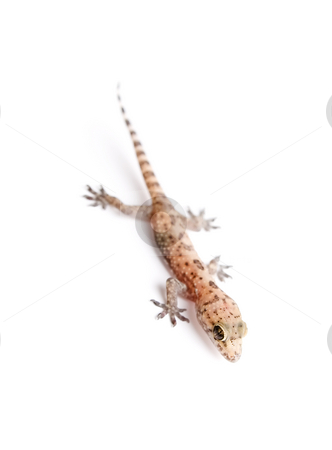 Gecko stock photo, Studio shot of gecko over white background, focus on head by iodrakon