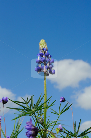 Lupin Flower stock photo, Closeup of a lupin flowre and its leaves with blue sky and clouds in the background by Lynn Bendickson