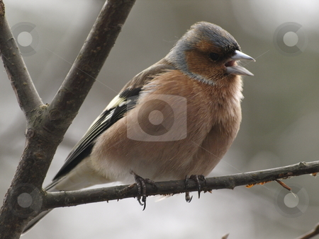 Chaffinch stock photo, A singing chaffinch by Lars Kastilan