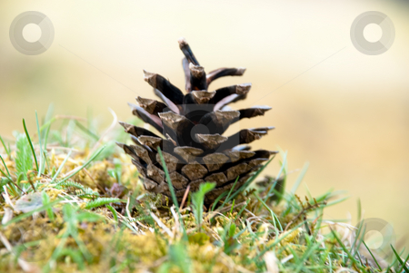 Cone on a grass stock photo, Dry up cone on a grass by Alexey Rumyantsev