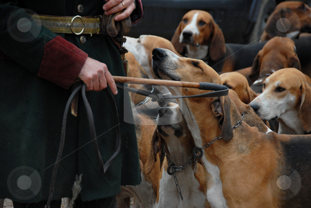 Fox hunting stock photo, Dogs waiting for a fox hunting with their owner by Bonzami Emmanuelle