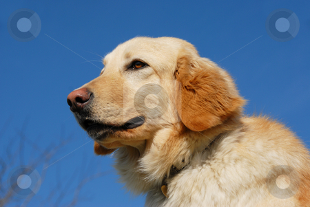 Hovawart dog stock photo, Portrait of a purebred female hovawart dog in a blue sky by Bonzami Emmanuelle