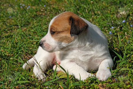 Puppy jack russel terrier stock photo, Puppy purebred jack russel terrier in a garden by Bonzami Emmanuelle