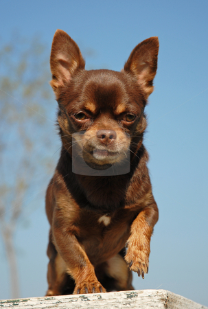 Brown chihuahua stock photo, Portrait of a chocolate purebred mexican dog: chihuahua by Bonzami Emmanuelle