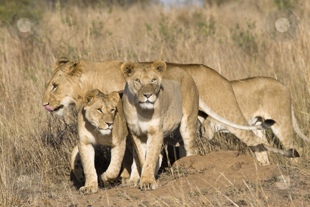 Pride of lions stock photo, Pride of lions, Masai Mara, Republic of Kenya, Eastern Africa by mdphot