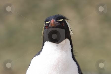 Western Rockhopper Penguin (Eudyptes Chrysocome) stock photo, Rockhopper Penguin on New Island, Falkland Islands by Chris Budd
