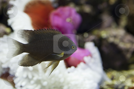 Marine aquarium fish tank stock photo, Tropical animal in a salt water fish tank aquarium under water. Flash light can kill the animals so the photo was taken with available lights and reflectors, damselfish, neoglyphidodon, melas by Ivan Montero