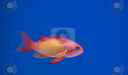 Marine aquarium fish tank stock photo, Tropical animal in a salt water fish tank aquarium under water. Flash light can kill the animals so the photo was taken with available lights and reflectors by Ivan Montero