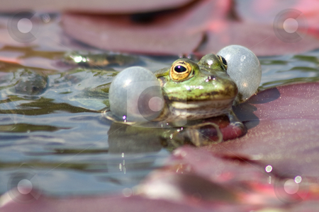 Frog stock photo,  by Stefan Franz