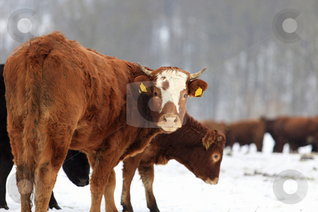 Cows and snow stock photo, Farm animal in winter scenery by Tom P.