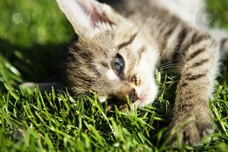 Small kitten stock photo, Kitten on beautiful green grass taken by macro by Tom P.