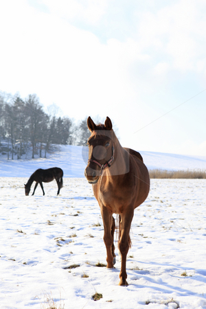 Horse in the nature stock photo, Two horses in winter landscape by Tom P.