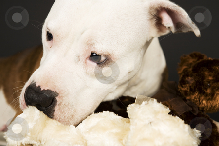 Stafford stock photo, American stafford terrier in detail with teddy by Tom P.