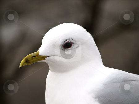 Seagull stock photo, Portrait of a seagull by Lars Kastilan