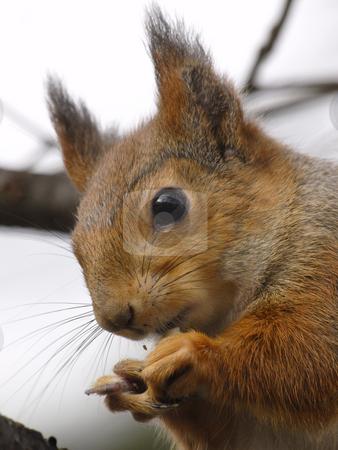 Squirrel stock photo, Portrait of a squirrel by Lars Kastilan