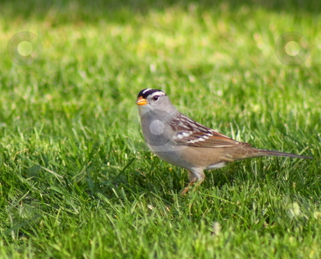 Bird on Grass stock photo, Small bird with stripes on head and yellow beak eating seed on green lawn in yard. by Richard Clack