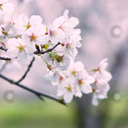 Sakura stock photo,  by Tomo Photography