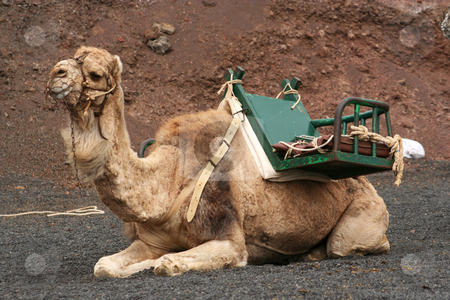 Lone Camel stock photo, Camel saddled and muzzled, ready to give rides to tourists in Timanfaya National Park, Lanzarote by Helen Shorey