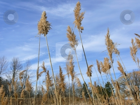 High grass   stock photo, High grass in the fall on the beach on a light cloudy blue sky. by Horst Petzold