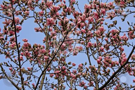 Magnolia stock photo, Magnolia tree in spring (march 2007 in Frankfurt/Main, Hessen, Germany) by Manuela Schueler