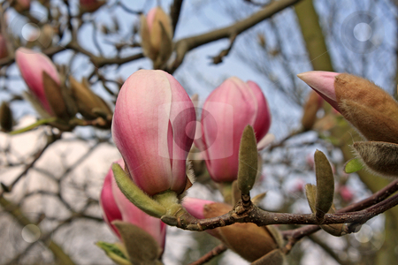 Magnolia stock photo, Magnolia tree in spring (march 2007 in Frankfurt/Main, Hessen, Germany) by Manuela Schueler