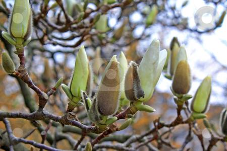 Magnolia stock photo, Magnolia tree in spring (april 2009 in Frankfurt/Main, Hessen, Germany) by Manuela Schueler