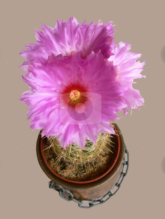 Three flowers on cactus  stock photo, Three beautiful flowers on an cactus with the needles and the flowerpot. by Horst Petzold