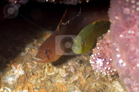 Orange and Green stock photo, A rare orange phase penpoint gunnel sharing a den with it's normal colored kin. by Greg Amptman