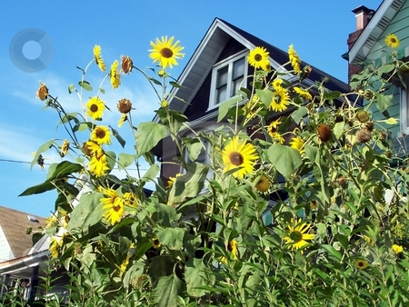 Sunflowers In Front Of House stock photo, Urban street scene sunflowers in front of house by CHERYL LAFOND