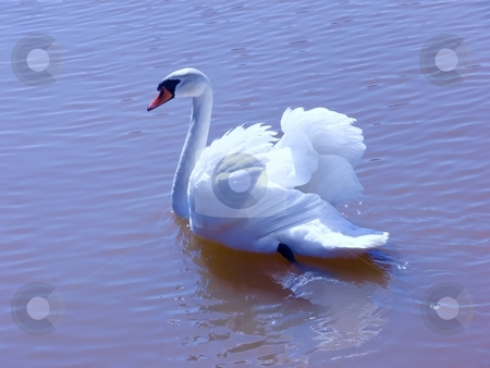 Swan in sunlight   stock photo, A beautiful and elegant cygnus mute swan on the lake in bright sunshine  presenting himself. by Horst Petzold