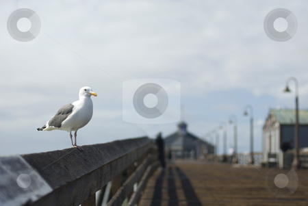 Imperial Beach Pier stock photo, A seagull with out-of-focus boardwalk behind, Imperial Beach, California, by Stephen Gibson