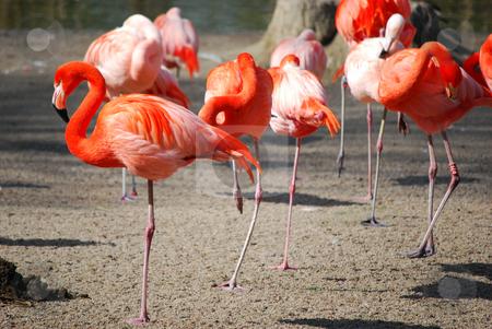 Flamingos stock photo,  by Sarka