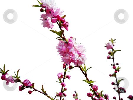 Bridal Wreath stock photo, Bridal Wreath, also known as spirea in full bloom by Sandra Fann