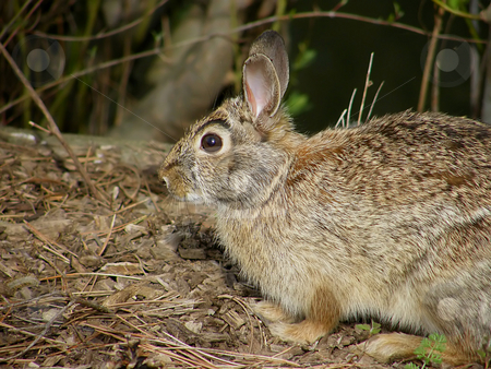 Wild Eastern Cottontail stock photo, Wild Eastern Cottontail by Dazz Lee Photography