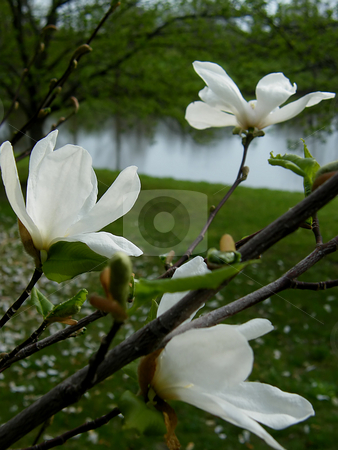 White Magnolia Blooms stock photo, White Magnolia Blooms on Magnolia tree near a pond. by Dazz Lee Photography