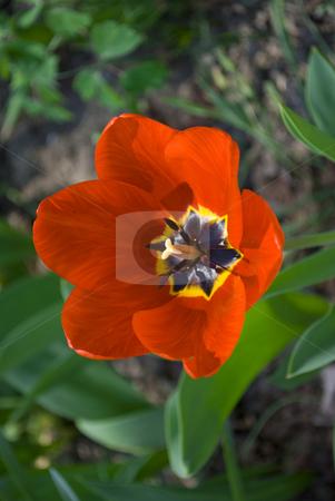 Tulip stock photo, Red tulip in green garden by Desislava Dimitrova
