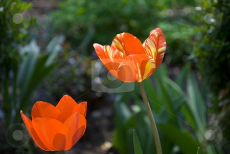 Tulips stock photo, Red tulips in green garden by Desislava Dimitrova