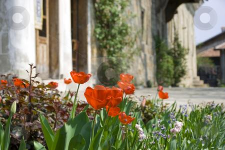 Tulips stock photo, Red tulips in old church garden by Desislava Dimitrova