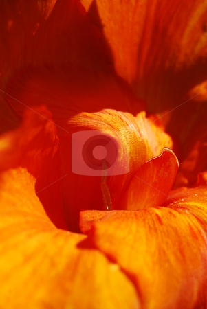 Orange flower stock photo, Detail of an orange gladiola by Diana Hartmann