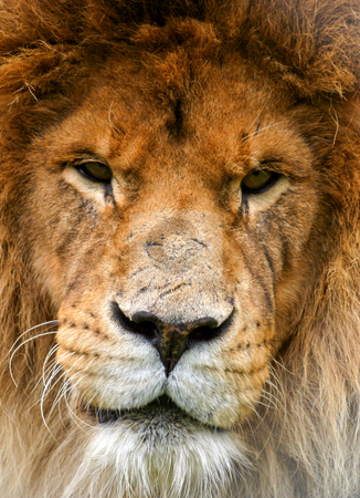 Battle Scarred stock photo, Portrait of a lion that looks as if it has been in many fights.  Dark eyes and scarred nose. by Rick Parsons