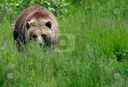 Grizzly Approaches stock photo, Brown Bear/Grizzly in a meadow, advancing on the photographer's position. by Rick Parsons
