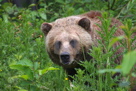 The Hunter Appears stock photo, Brown Bear/Grizzly peaking around some dense foliage. by Rick Parsons