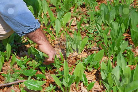 Picking bear's garlic stock photo, Man picking leaves of bear's garlic in the forest in spring. by Ivan Paunovic