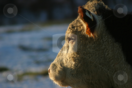 Hereford Profile stock photo, Profile of a cow's head, as it stares towards the setting sun. by Rick Parsons