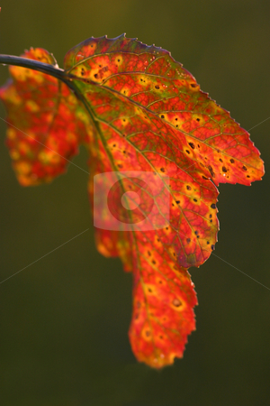 Last Leaf stock photo, The last remaining leaf hanging on a small tree along a nature path. by Rick Parsons