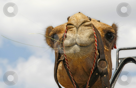 Looking ahead stock photo, Camel looking ahead by Chris Alleaume