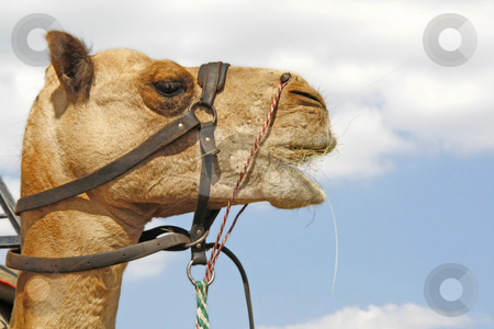 Camel profile stock photo, Profile shot of a camel against the sky by Chris Alleaume