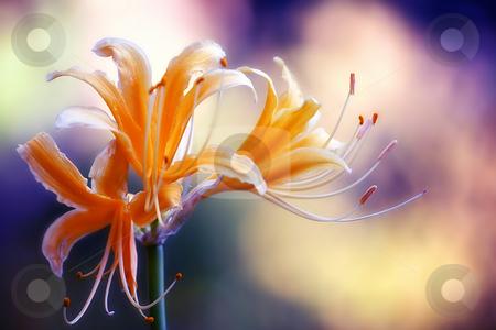 Lycoris Radiata stock photo,  by Tomo Photography