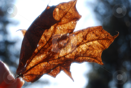 Autumn leaf stock photo,  by Leyla Akhundova