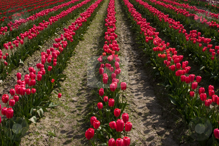 Red Tulips in a Row stock photo, Rows of red tulips at the Skagit Valley Tulip Festival, Washington. by Rick Parsons